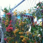 browns-marina-bougainvillea-back-fence