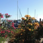browns-marina-bougainvillea3